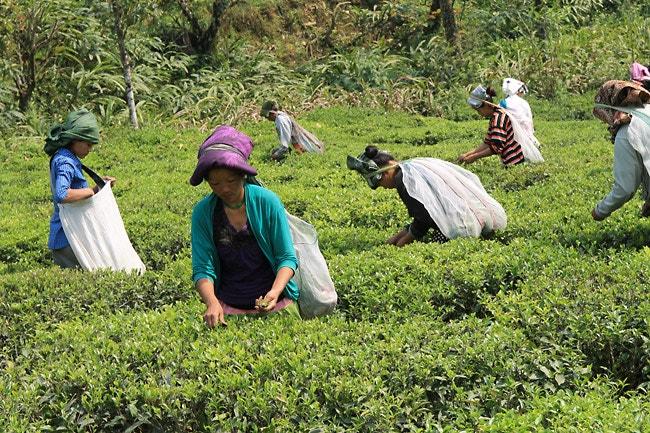Teepflückerinnen in Indien
